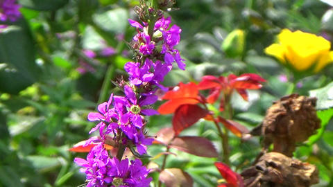 Garden scene with purple loosestrife flowers, roses and bees pollinating, blowin Footage