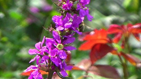 Garden scene with purple loosestrife flowers and bees pollinating Footage
