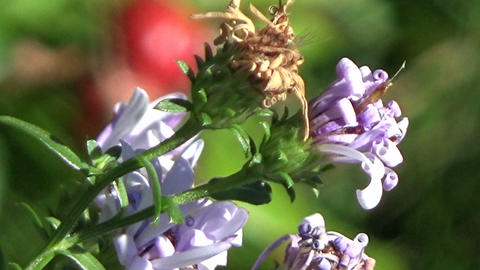 Wild Aster flowers trembling in the wind Footage