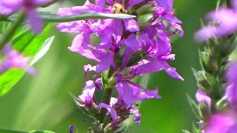 Closeup of a purple loosestrife flower blowing in the summer wind Footage