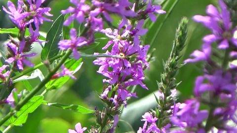 A field of purple loosestrife flowers blowing in the summer wind Footage