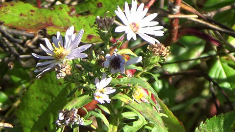 Wild Aster flowers with a tiny fly and a spider moving in the autumn wind Footage