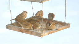 Sparrows peck at grain in the bird feeder Footage