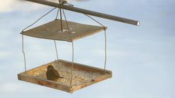 Sparrow pecking grain in the bird feeder Footage