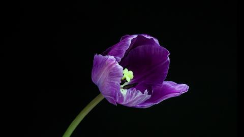 Violet tulip flower blooming timelapse 4K Footage