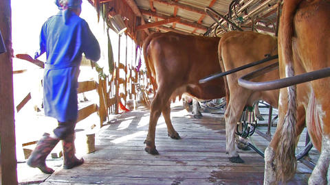 Milk Cattle On Dairy Farm Live Action