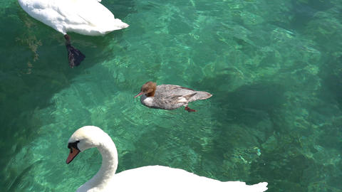 GENEVA, SWITZERLAND: Swans and ducks in the lake of Geneva, Switzerland Footage