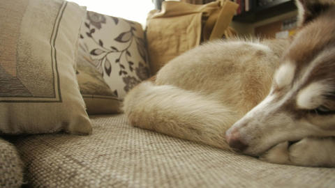 The husky dog sleeps on the couch, the camera moves from left to right 영상물
