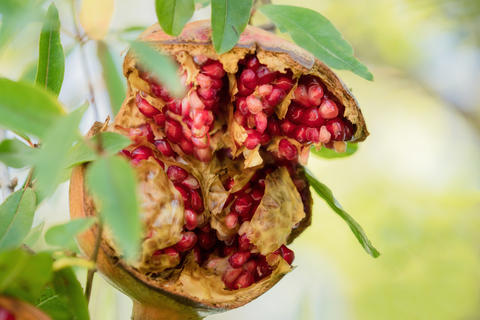 Pomegranate grows wild in the tree Photo