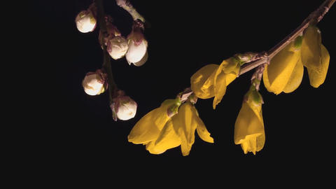 Forsythia blooming flowers on a black background (time-lapse) Footage