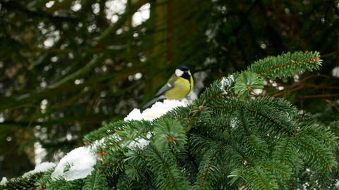 Bird on pine tree winter Great Tit Parus major 4k Footage