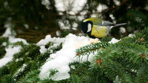 Bird on pine tree winter Great Tit Parus major 4k GIF