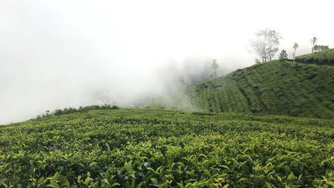 Mountain Tea Plantation Footage