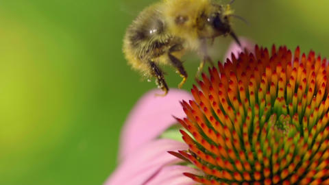Bumblebee on a Echinacea flower ビデオ