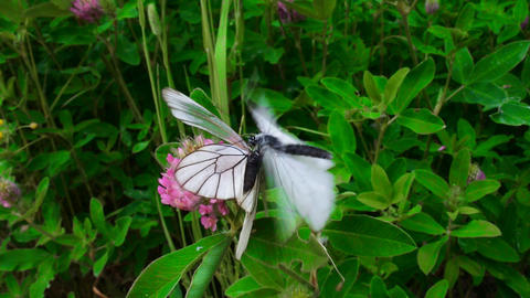 Copulation butterfly - Black-veined white Footage