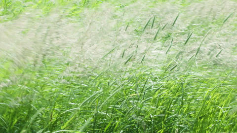 lush grasses swaying on strong wind Footage
