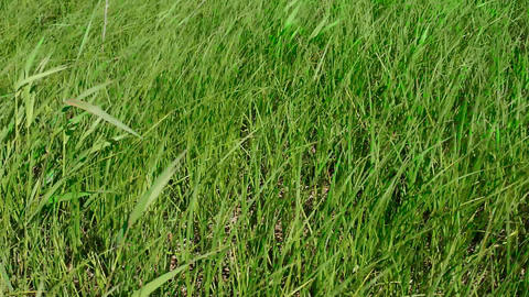 Meadow grass sway from side to side Live Action