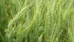 Close-up of a green wheat field Footage