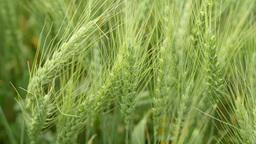 Green Wheat Fields