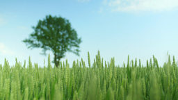 Detail shot of a green wheat field with a oak-tree Footage