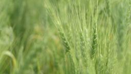 Green Wheat Fields 2