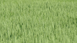 Detail shot of green wheat field Footage