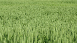 Detail shot of green wheat field Footage