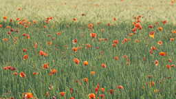 Poppy flowers in a green wheat field Footage