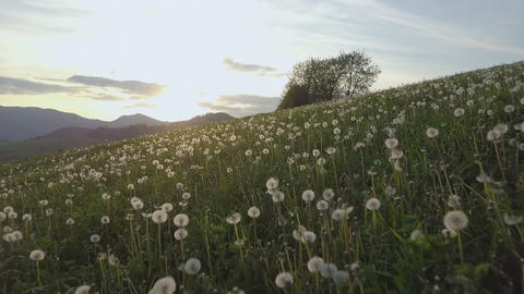 Moving forwards over dandelion meadow at sunset Live Action