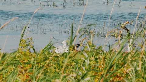 quiet day and seagulls resting on meadow lake Footage