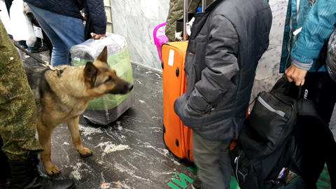 Service dogs looking for drugs in the luggage of passengers Image