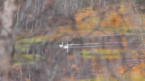 Pair of whooper swan (Cygnus cygnus) on peaceful wooded river Live Action