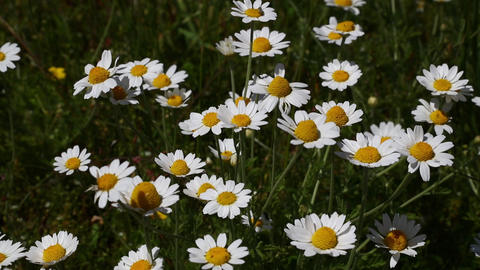 White chamomile daisy flowers in wind close up Image