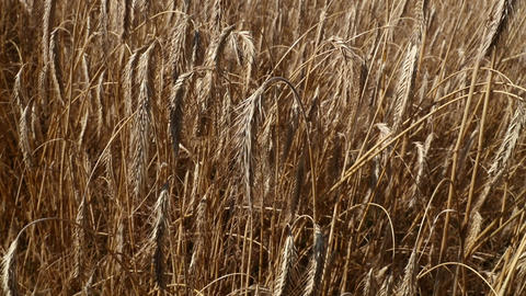 Man hand holding ripe mature wheat ear spike Footage