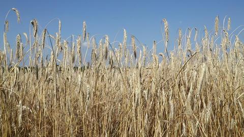 Wheat field in the wind under blue sky Footage