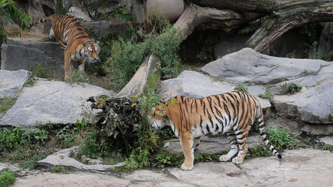 Two tigers play fight in zoo enclosure Live Action