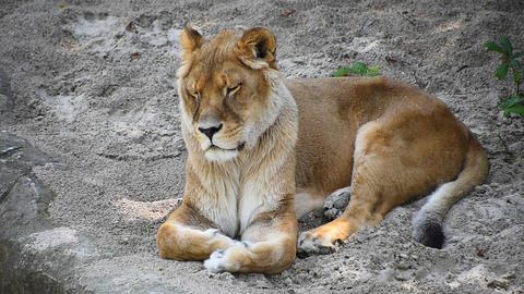 Close up lioness resting on the ground Live Action