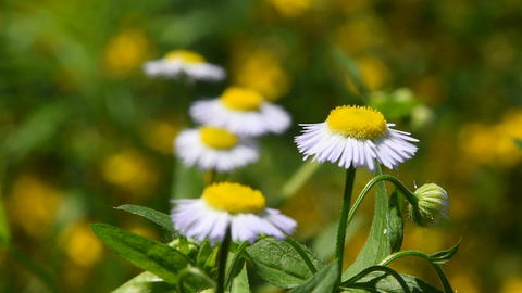 Wild meadow chamomile flowers over green Footage
