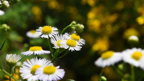 Wild meadow chamomile flowers in wind over green Footage