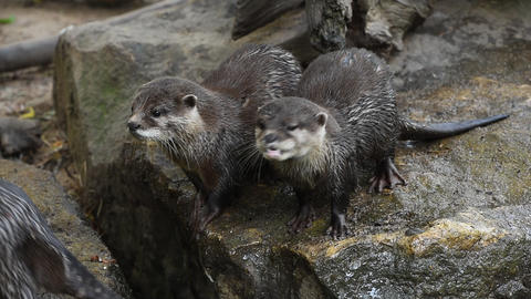 River otters scream and yawn on rocks Live Action