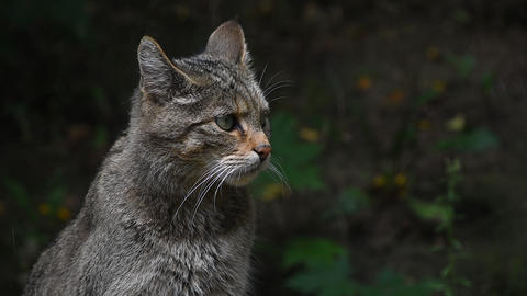 European wildcat portrait close up Footage