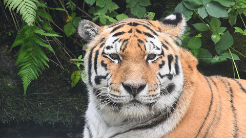 Close up portrait of old Amur Siberian tiger Footage
