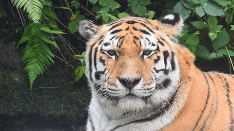 Close up portrait of old Amur Siberian tiger Stock Video Footage