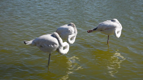 Three white flamingos standing in rippled water Footage