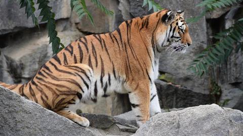 Close up profile Amur Siberian tiger on the rocks Stock Video Footage
