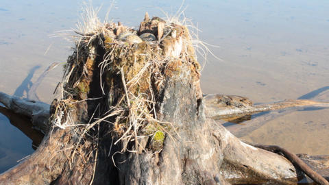 Common gull made nest on top of stump in water Live Action