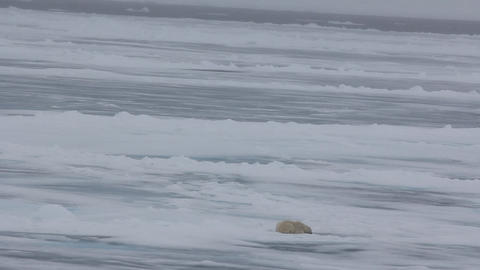 Hunting Polar bear is lying near hole of seal in posture of waiting Live Action