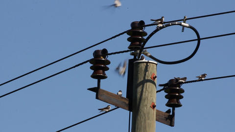 House Martins on wires Footage