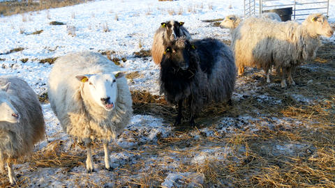 Black and white - sheep out at winter time Footage