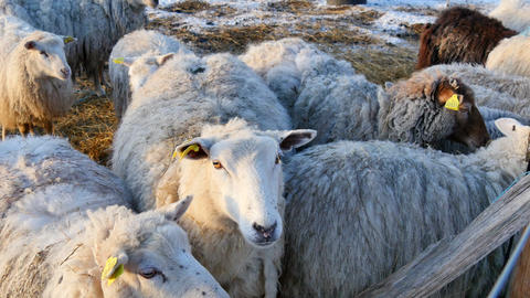 Sheep Close Together stock footage